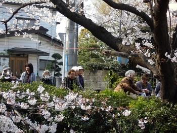 桜並木歩く.JPG
